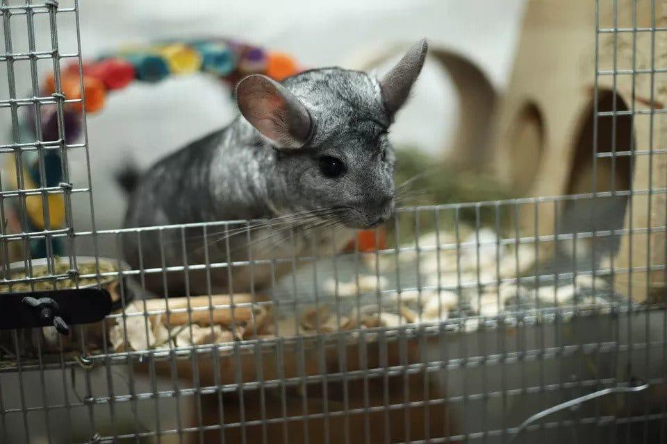 Làm chuồng cho chuột Chinchilla