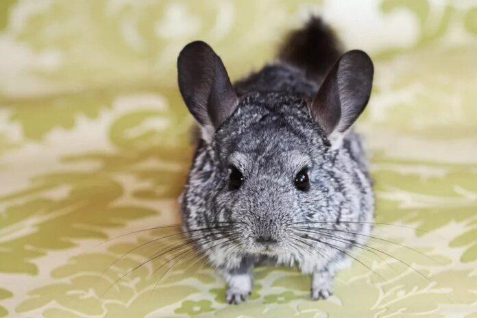Tìm hiểu về chứng tắc ruột ở chuột Chinchilla, nguyên nhân và cách xử lý