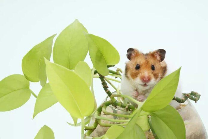 Chuột Hamster Syria