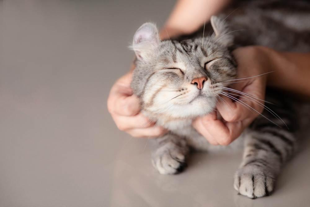 Mèo động dục trong bao lâu?