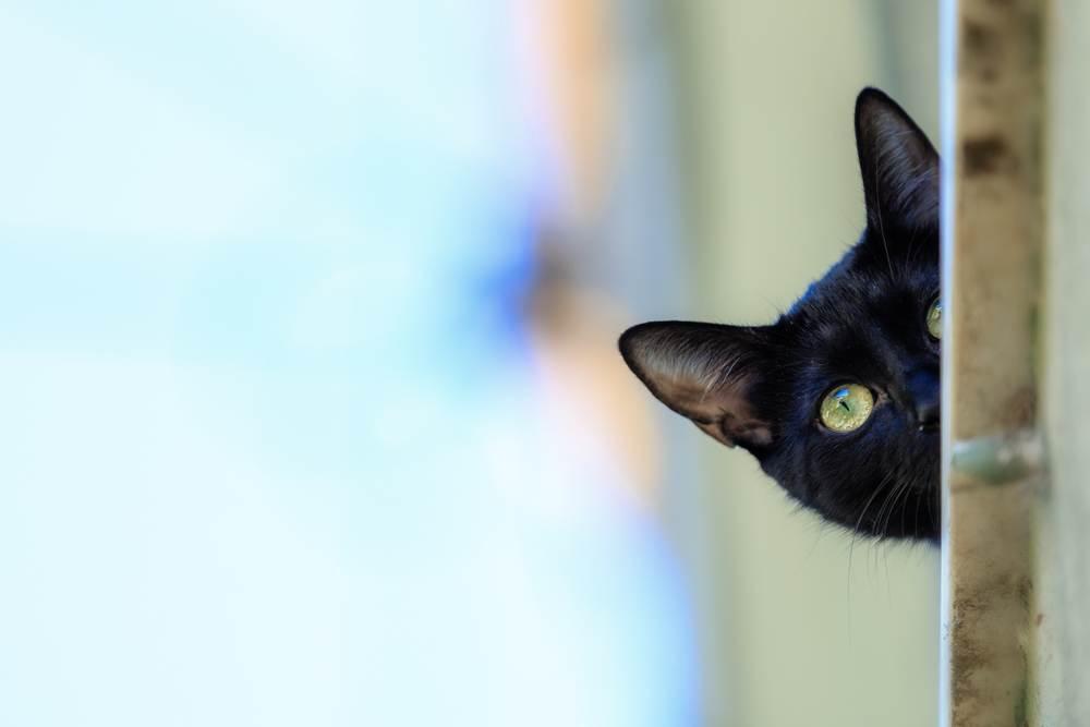 mèo kêu ban đêm
