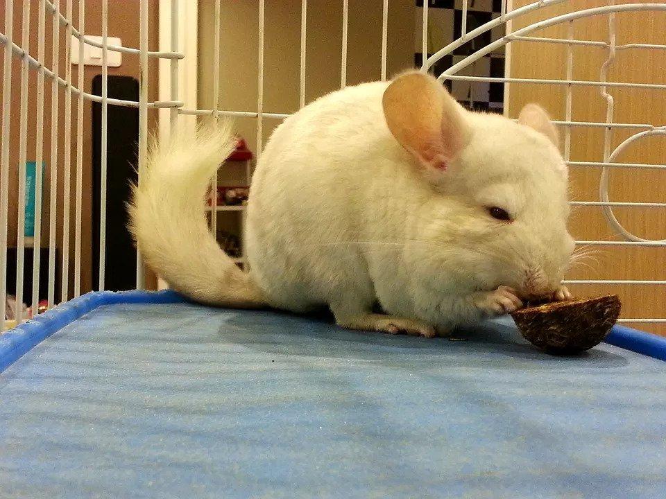 Nên cho chuột Chinchilla ăn gì? Thực đơn chuẩn để nuôi một bé chuột Chinchilla sẽ như thế nào?