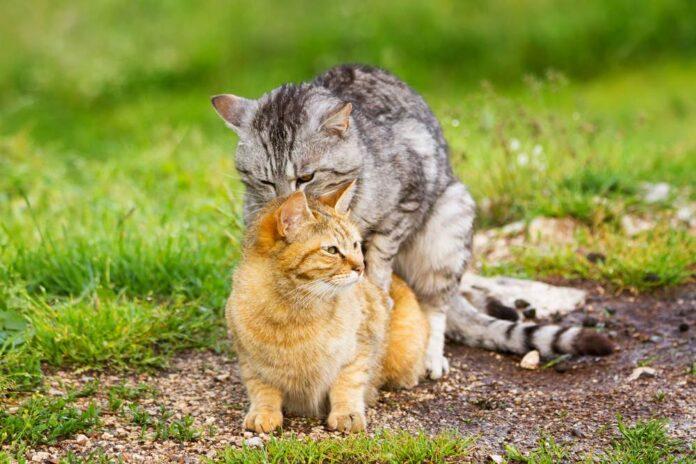 Phối giống và sinh sản ở mèo