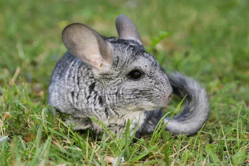 Rụng lông ở chuột Chinchilla