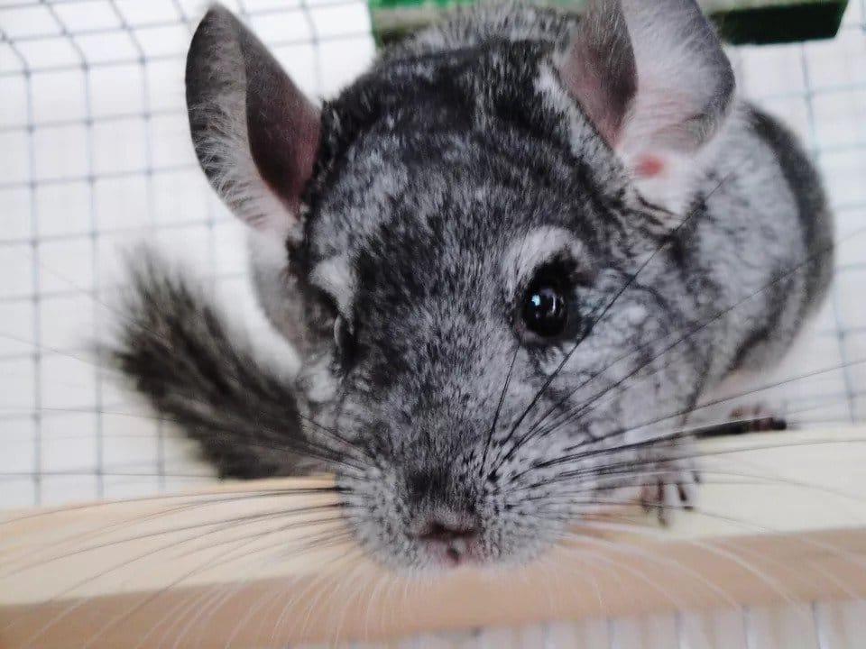 Bệnh về mắt ở chuột Chinchilla