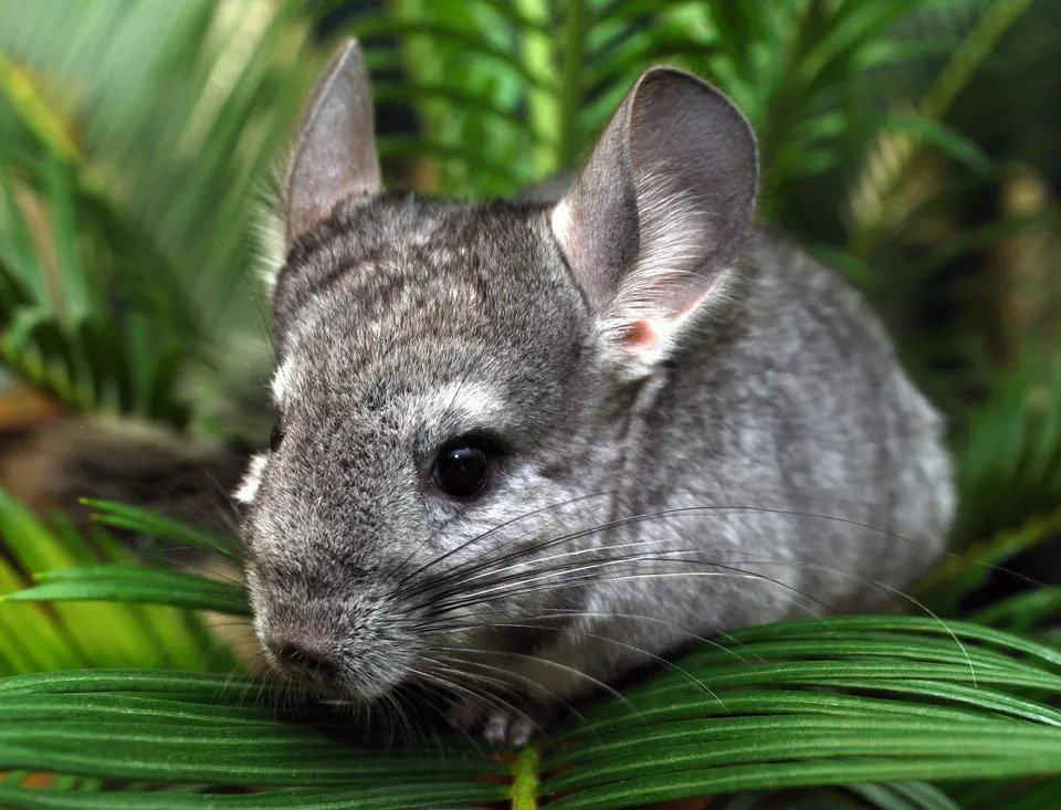Tìm hiểu các vấn đề về răng miệng của chuột Chinchilla