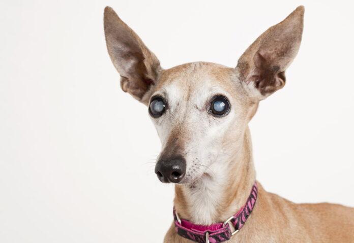 Làm sao để chăm sóc đúng cách một chú cún bị mù?