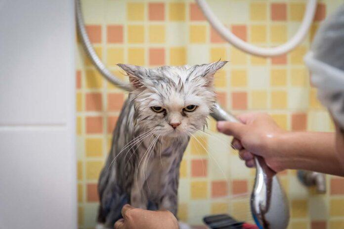 Sữa tắm dành cho mèo