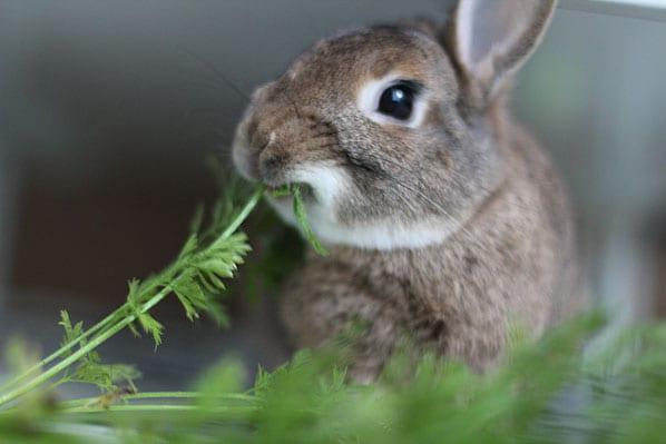 Tại sao thỏ tự ăn phân của mình? Giải mã hành vi kỳ lạ này của loài thỏ