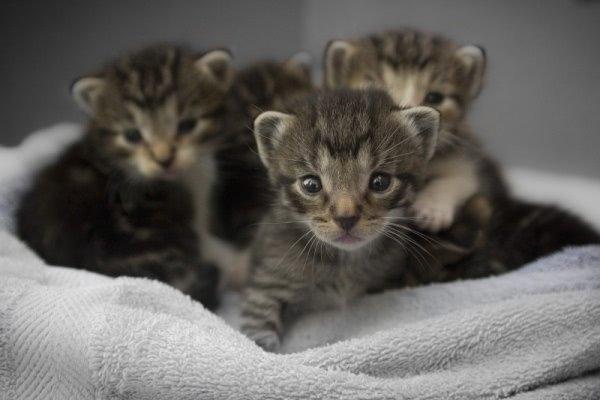 Lịch trình cho mèo con ăn vào tuần 5.