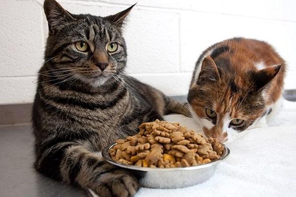 Thức ăn hạt cho mèo là gì?