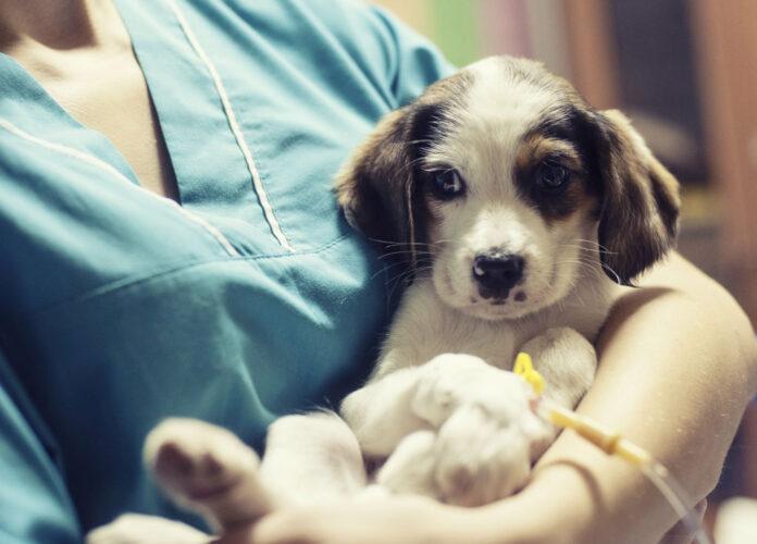Chăm sóc thú y cho chó