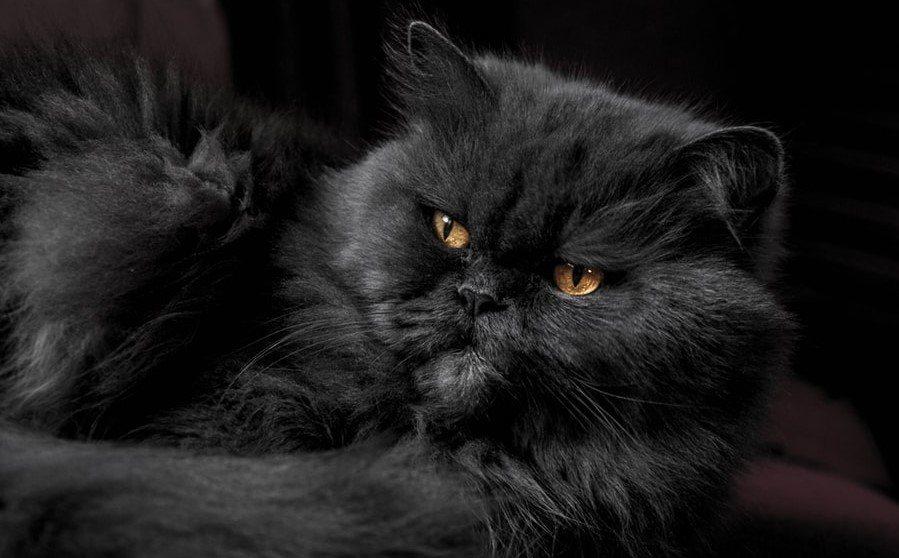 Mèo Ba Tư lông đen