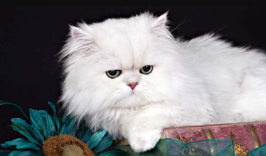 Mèo lông trắng