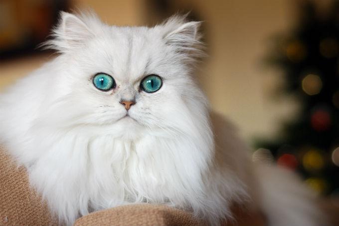 Kinh nghiệm nuôi Mèo Ba Tư