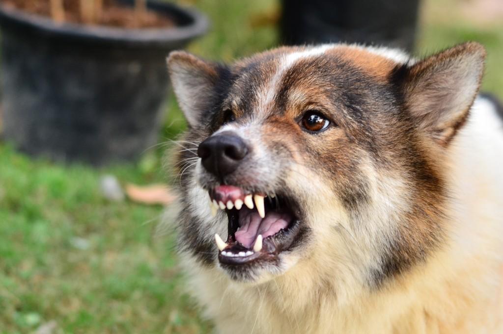 Bị chó dại cắn phải làm gì
