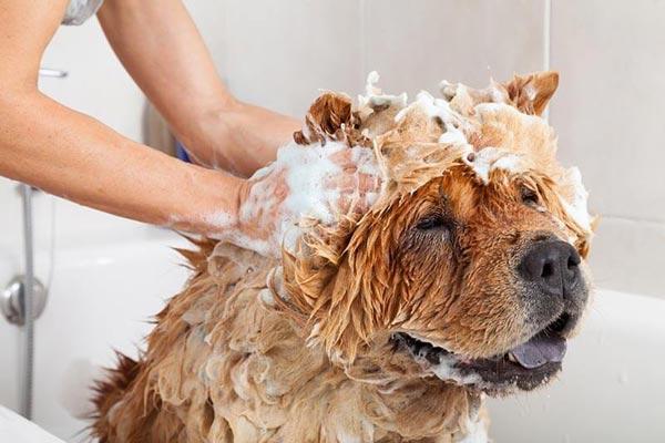 Tắm cho chó bị nấm da