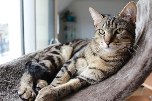 mèo vằn