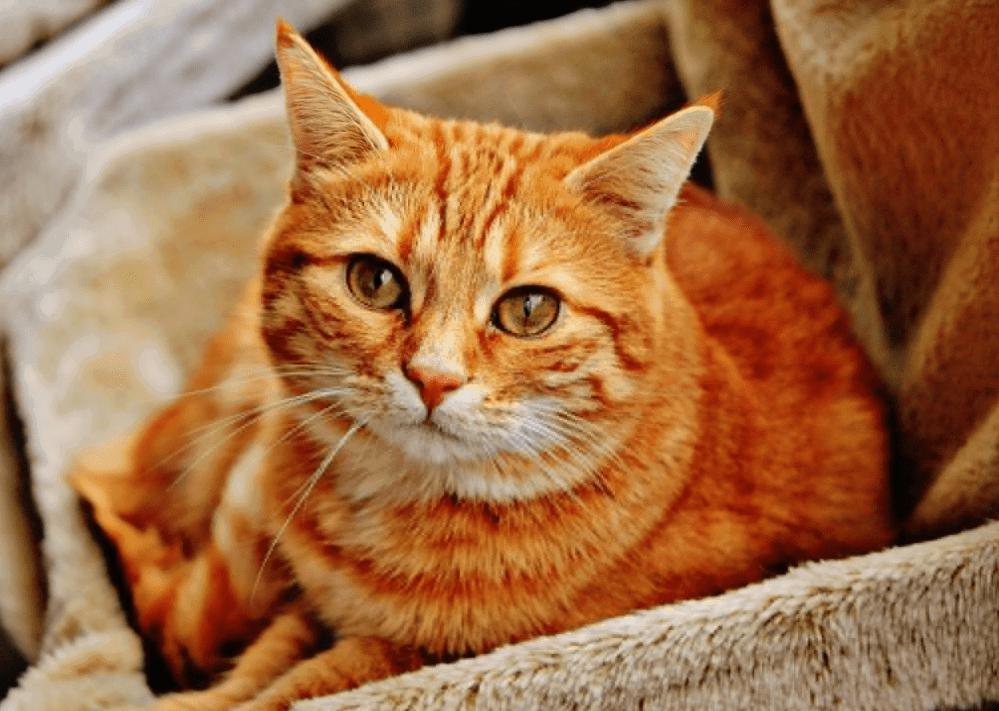 Mèo mướp vàng