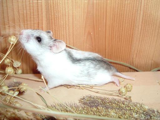 Chuột Hamster sọc Trung Quốc