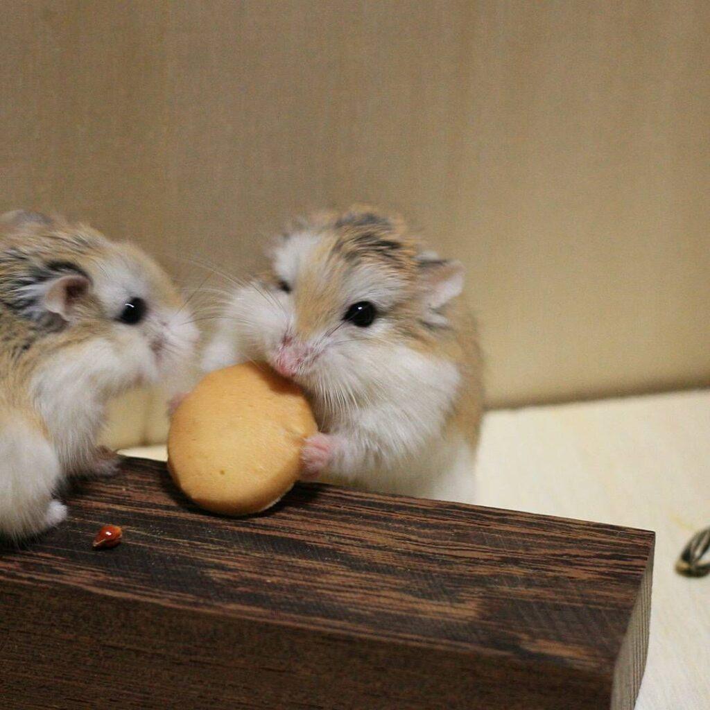 Chăm sóc chuột Hamster Roborovski