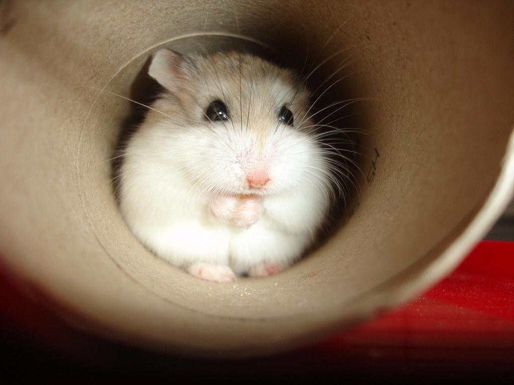 Cách nuôi Hamster Robo