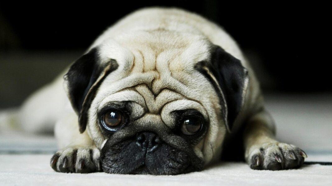 Chó Pug mặt xệ