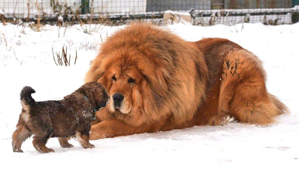 Tibetan Mastiff - Chó Ngao Tây Tạng