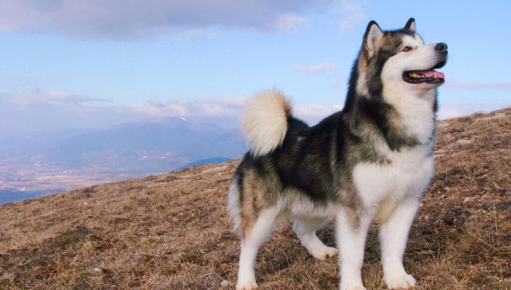 Đặc điểm và cách nuôi chó Alaska