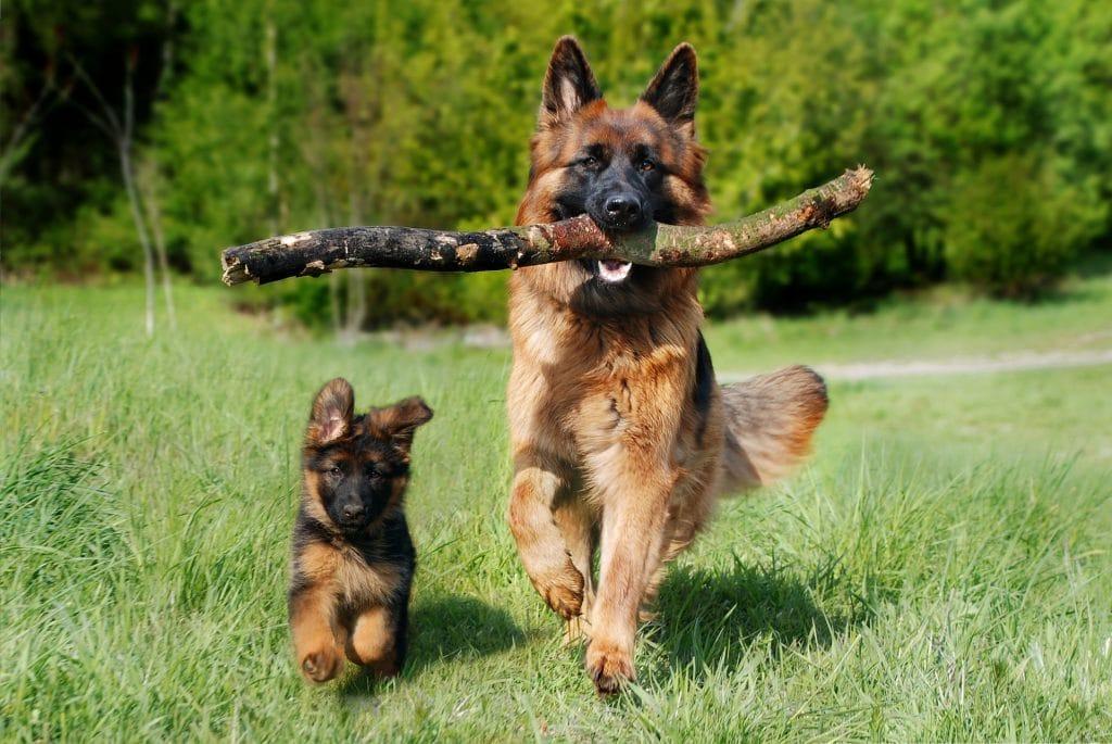 Cách nuôi chó Becgie
