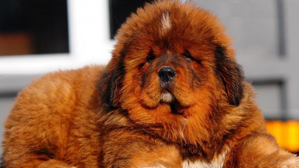 Chó Ngao Tây Tạng nhỏ