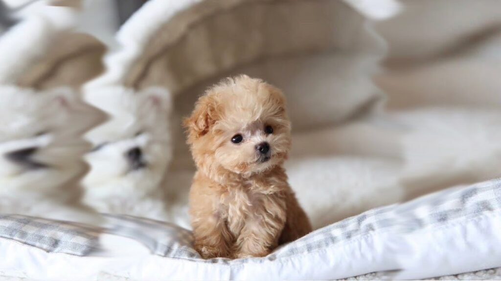 Chó Poodle Mini còn nhỏ