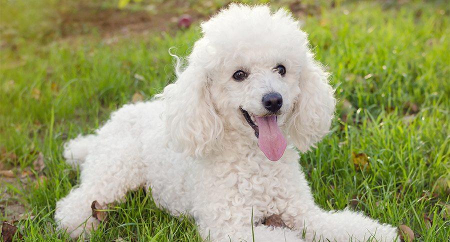 Chó Poodle lông trắng tuyệt đẹp