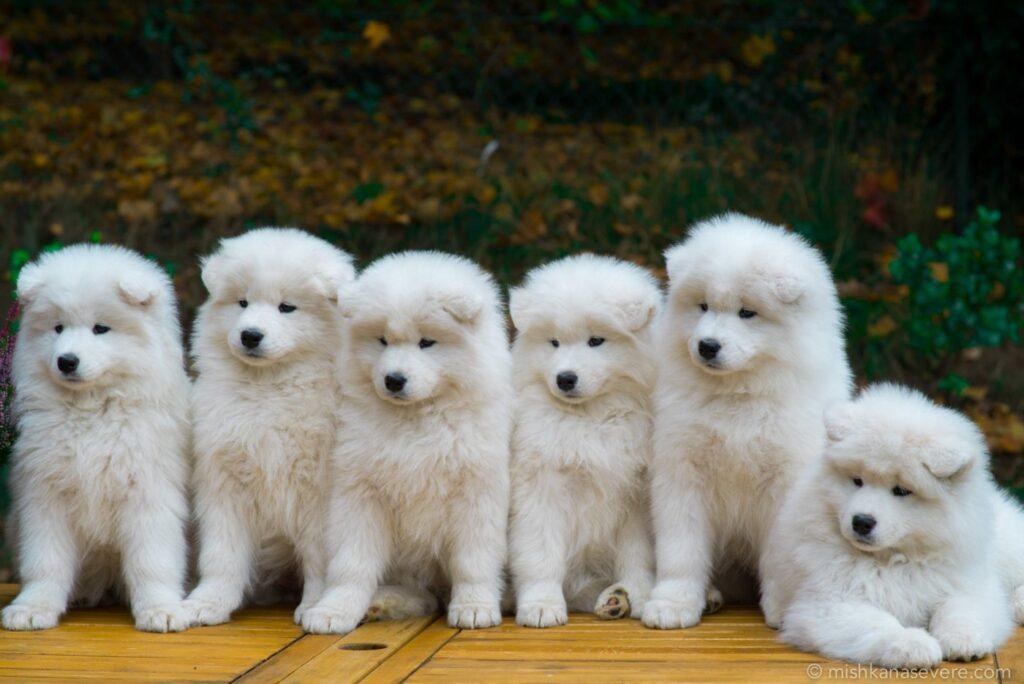 Chó Samoyed khi còn nhỏ