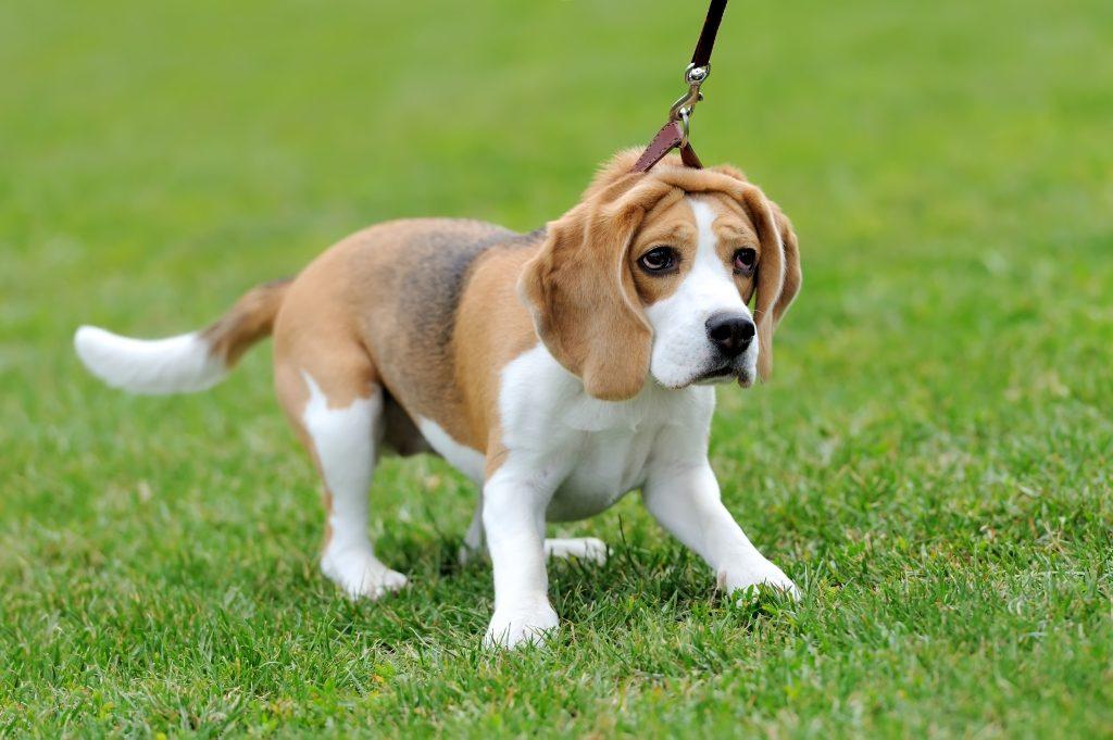 Dắt chó Beagle đi dạo