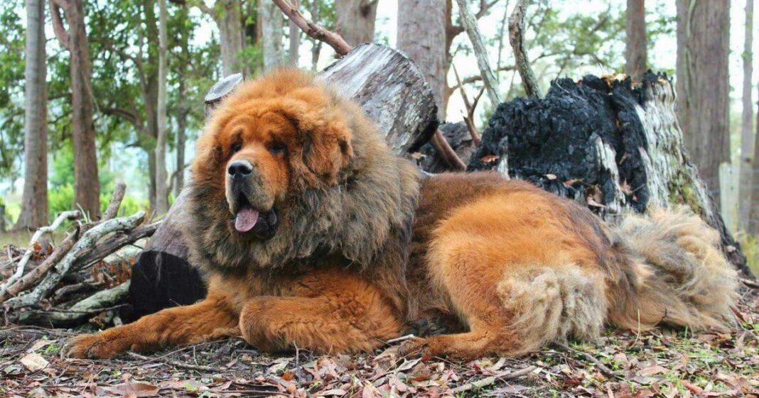 Chó Ngao Tây Tạng không lồ