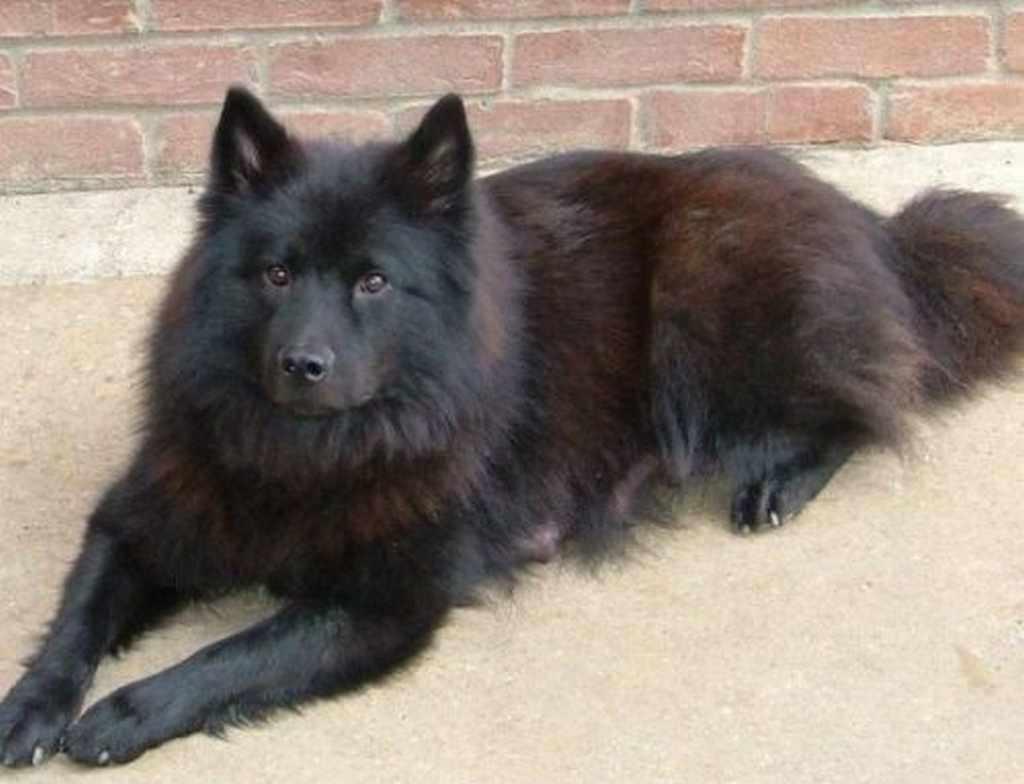 Chó Bắc Hà lông đen