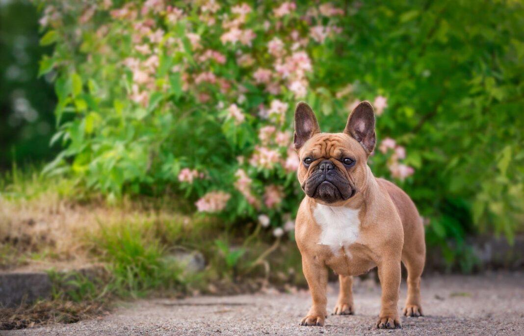 Chó Bull Pháp thuần chủng