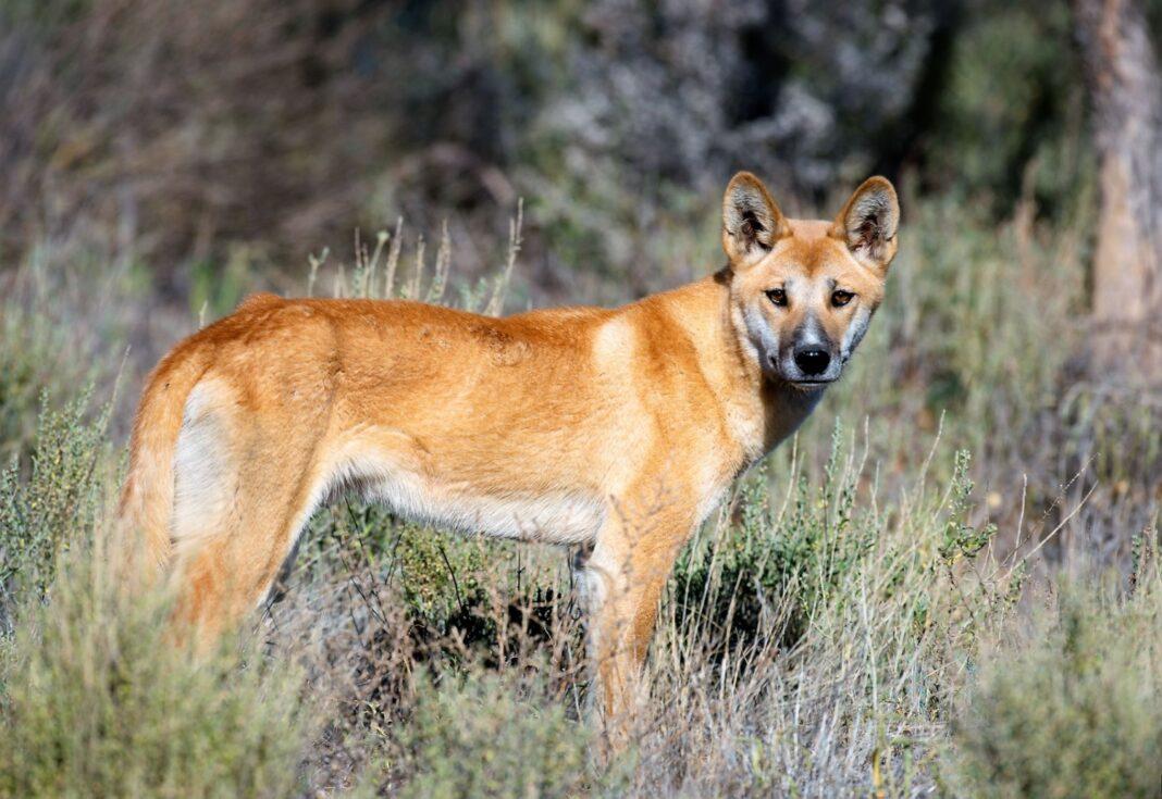 Giống chó Lài Dingo Đông Dương