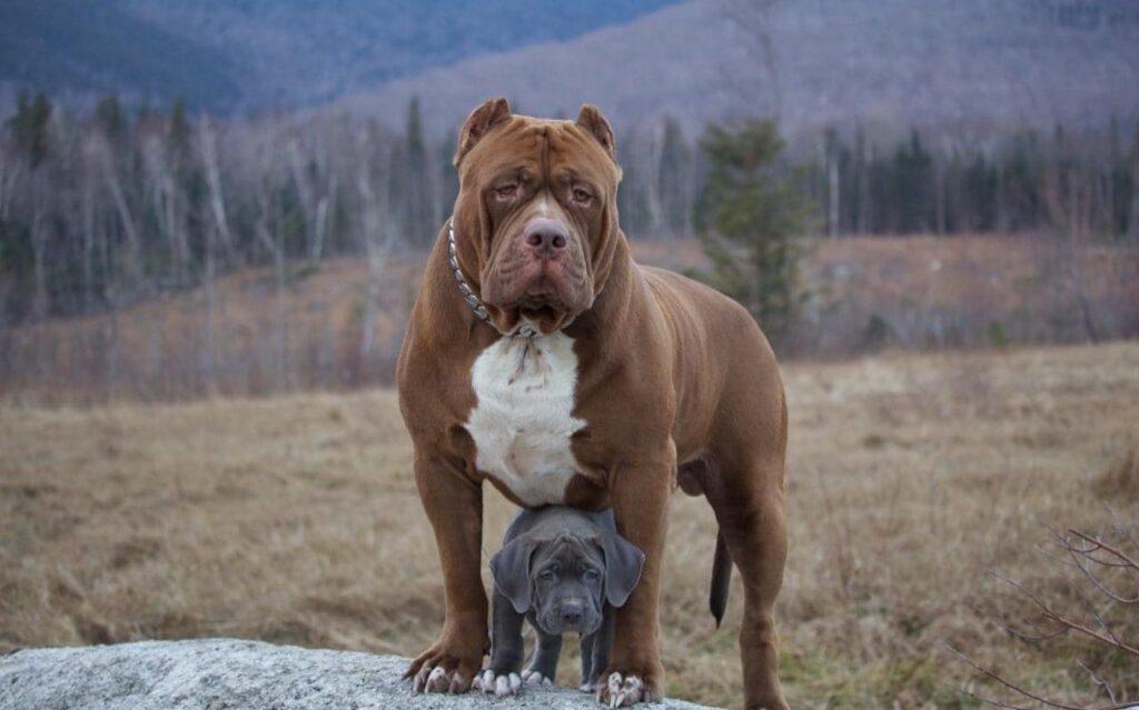 Cách chăm sóc chó Pitbull