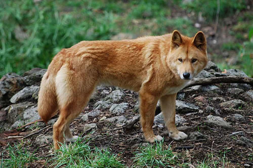 Siêu Pet Chó Dingo Đông Dương (Chó Lài)