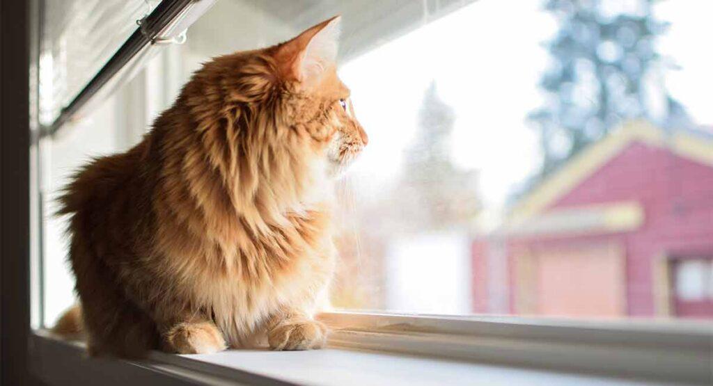 Mèo bỏ nhà đi bảo lâu quay về