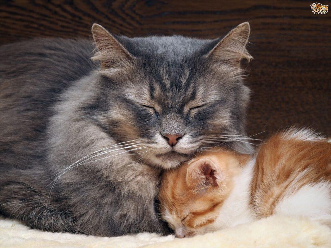 Tại sao mèo ăn thịt con của chính nó?