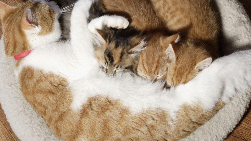 Mèo mẹ cho mèo con bú