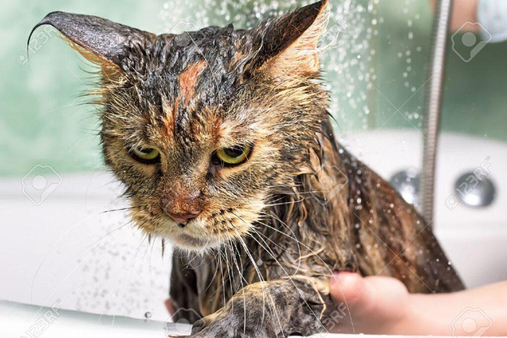Cách tắm cho mèo sợ nước