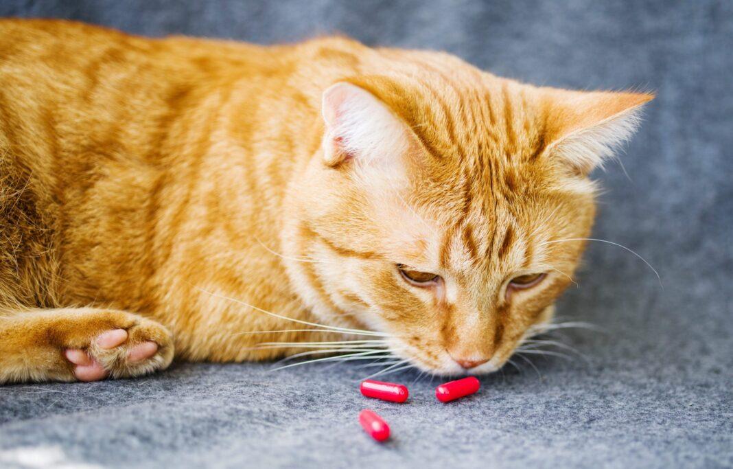 Cho mèo uống thuốc như thế nào?