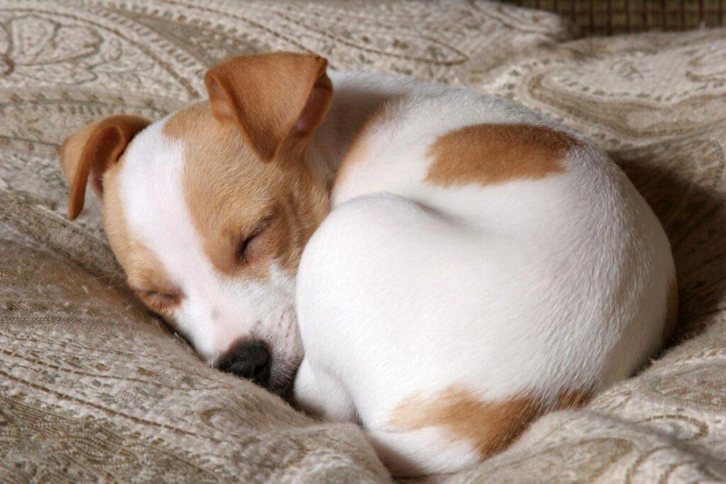 Có nên cho chó ngủ cùng người không?