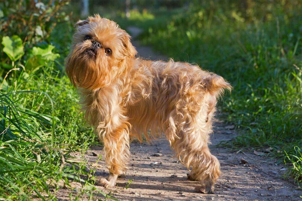 Giống chó nhỏ Brussels Griffon