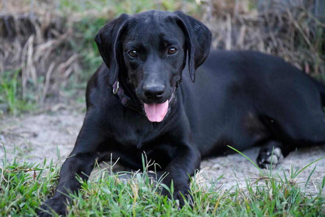 Nuôi chó đen có ảnh hưởng đến gia chủ
