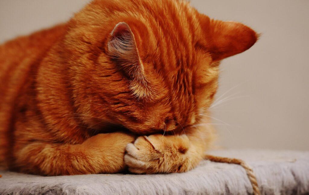 Mèo không chịu uống nước giải quết thế nào